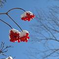 Photos: 雪と実
