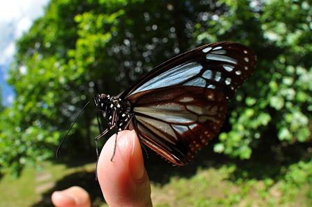 タテハチョウ科 アサギマダラ♂
