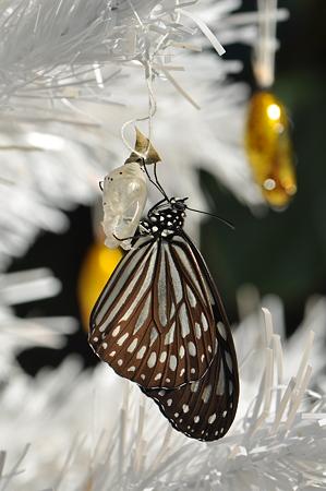 タテハチョウ科 リュウキュウアサギマダラ