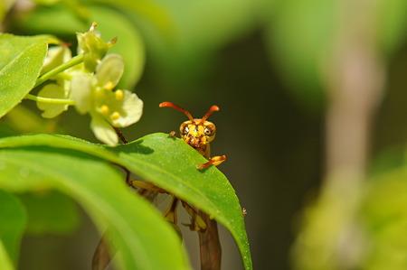 スズメバチ科 ヒメホソアシナガバチ♀