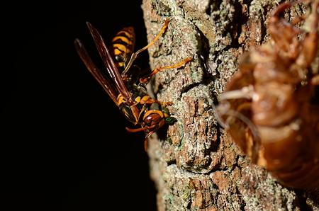 スズメバチ科 セグロアシナガバチ♀