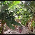 Photos: 800px-Banana_plantation