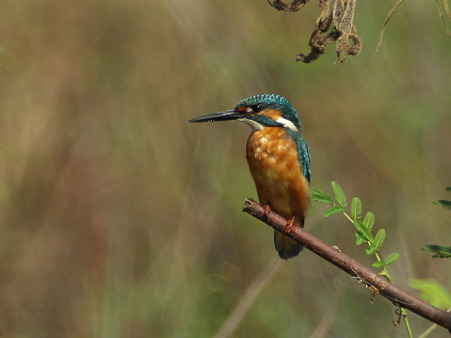 カワセミ(Common Kingfisher) IMG_4545_R