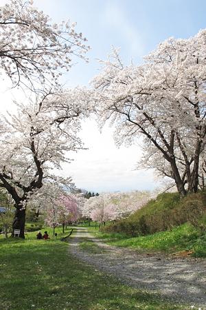 城山公園の桜・2