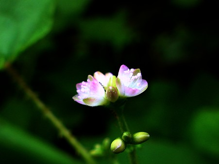 ミゾソバ【溝蕎麦】の花C