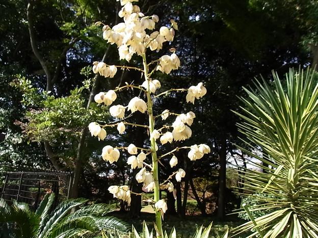 ユッカの花
