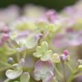 Photos: ふんわり紫陽花♪