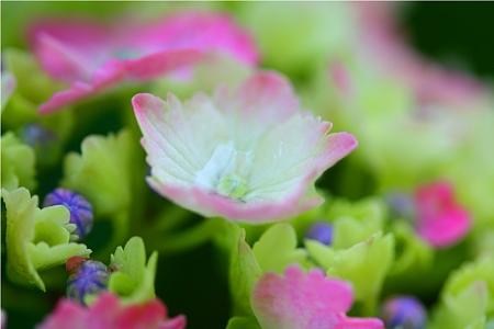 紫陽花〜雨上がり〜1