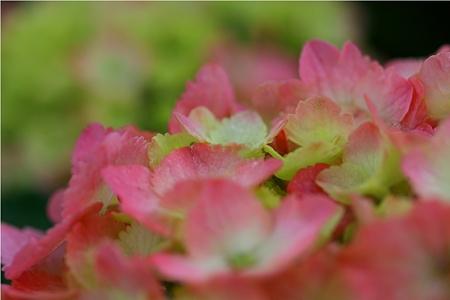 紫陽花〜雨上がり〜3
