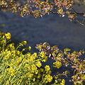 2011-03-11 伊豆,河津桜