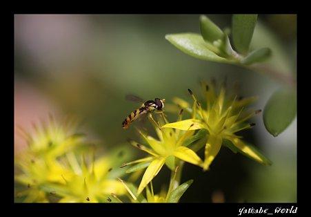 庭に咲いてるやつとヒラタアブ