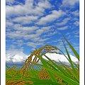 Photos: 雲と稲穂