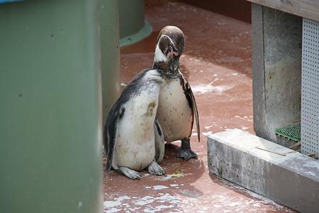 親子(?)のフンボルトペンギンその2