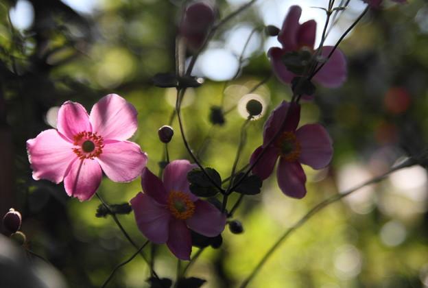 秋明菊 ピンク  光と影