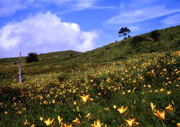 キスゲ咲く丘