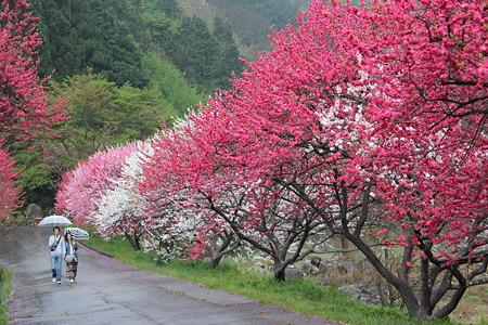 月川温泉、花桃の里1