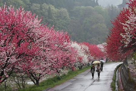 月川温泉、花桃の里2