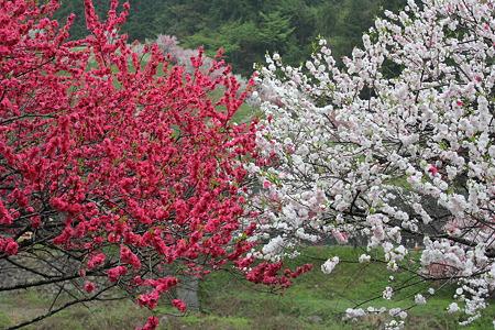 月川温泉、花桃の里5