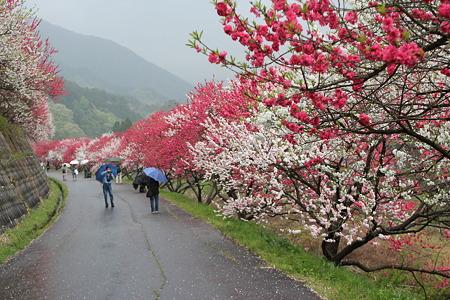 月川温泉、花桃の里16
