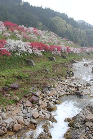 月川温泉、花桃の里17