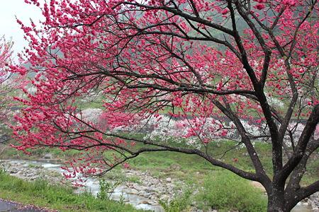 月川温泉、花桃の里18