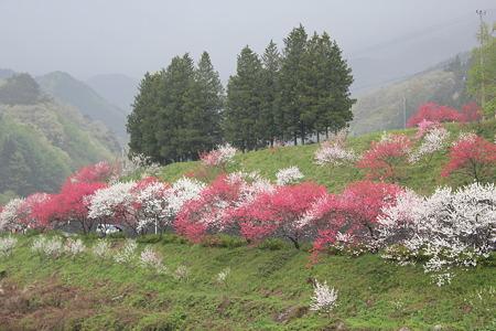 月川温泉、花桃の里19