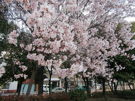 小彼岸桜3204