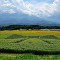 Photos: 明野のひまわり000