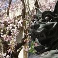 Photos: 稲毛神社の桜と狛犬5