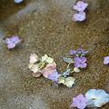 Photos: 水紫陽花