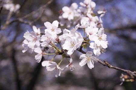 20110414昭和記念公園_桜21
