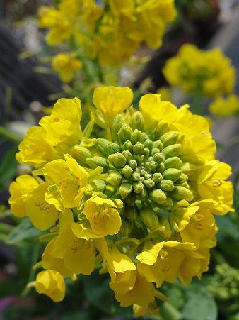 はるのけはい:菜の花(アブラナ系)