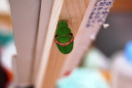 2011年09月23日_DSC_1247クロアゲハの前蛹
