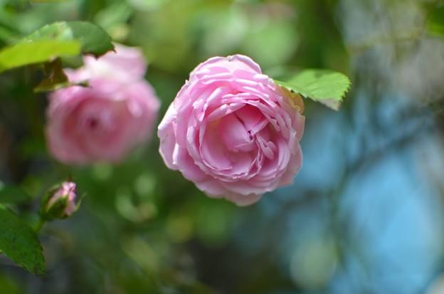 rose_5043
