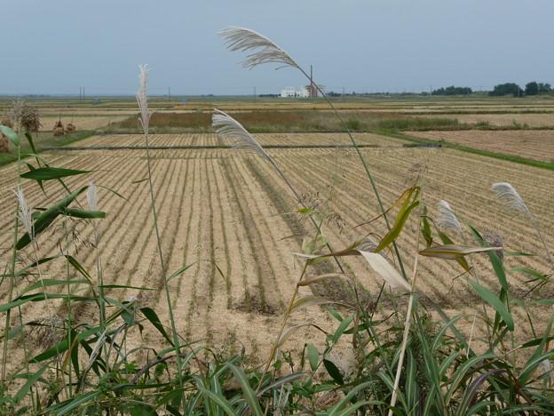 稲刈り後の田んぼとススキ