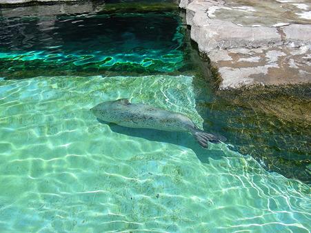 遊泳中のアザラシ