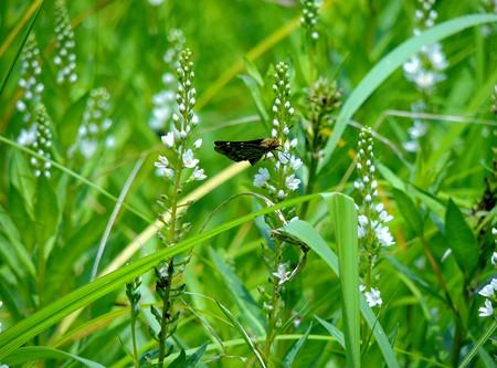 スマトラノオと蝶