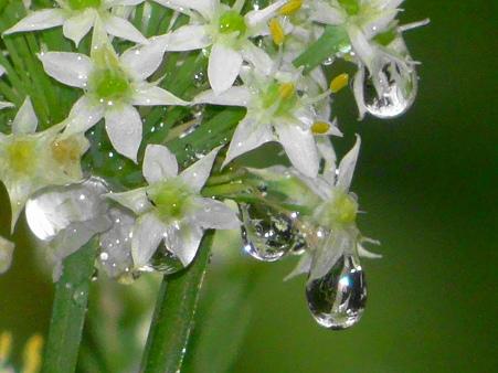 韮の花の煌めく雫