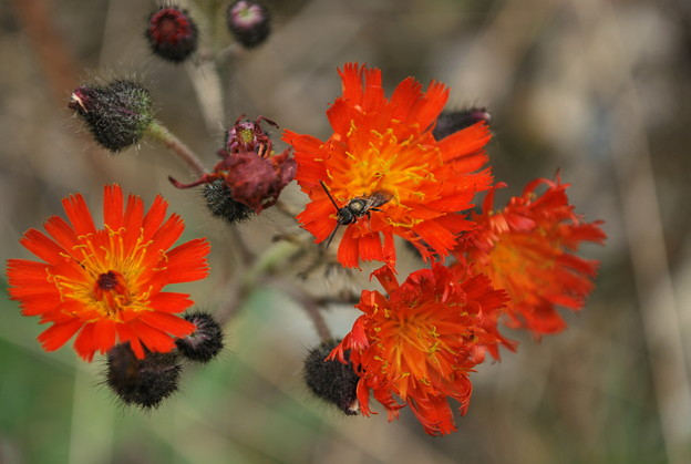Devil's Paintbrush 9-25-10