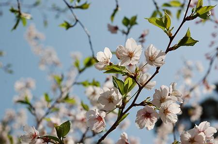 夙川桜2011
