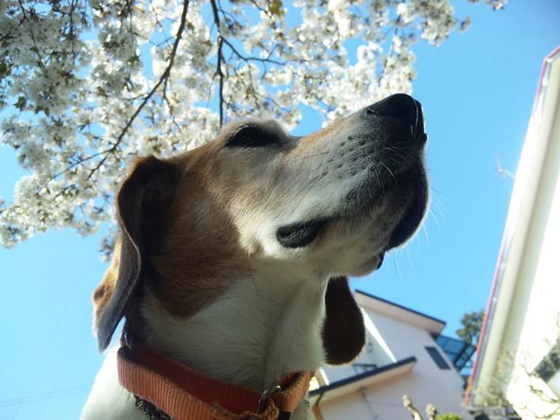 マリンと桜と家と青空その1