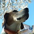 写真: マリンと桜と家と青空その1