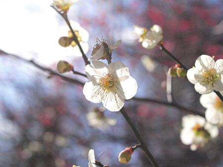 権五郎神社の白梅