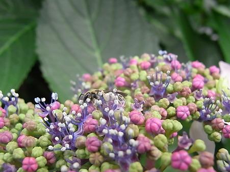 110613ハチがお散歩してる由比ケ浜通りの紫陽花