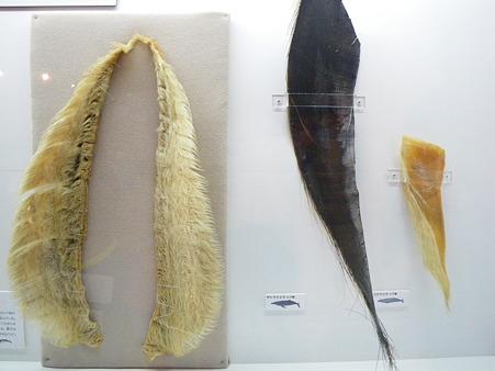 ヒゲクジラのヒゲ