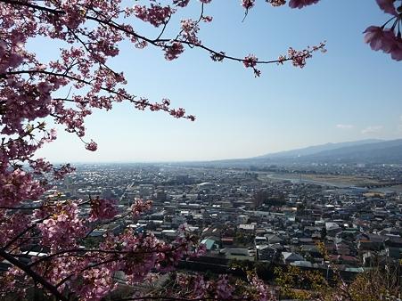 110305-松田山 河津桜 (49)