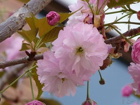 110417-造幣局 桜の通り抜け (74)