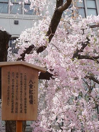 110417-造幣局 桜の通り抜け (103)