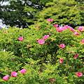 市の花「ハマナス」