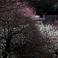 小石川の梅林(2)